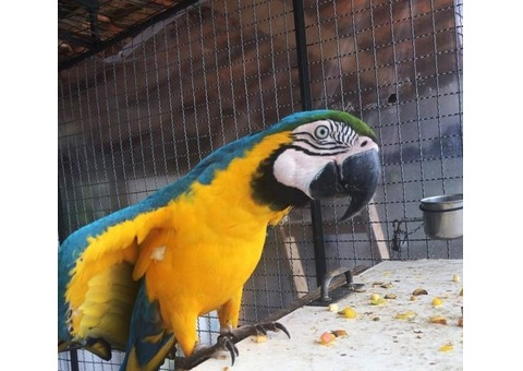 Beautiful Macaw Parrots available for sale