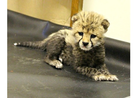 Cheetah cubs available for sale