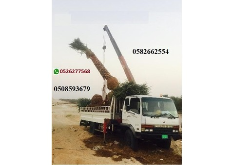 Palm Tree Sale and Home Delivery in UAE 0526277568