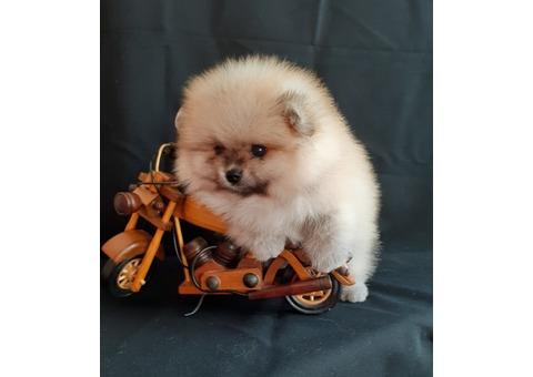 Mini Pome puppies