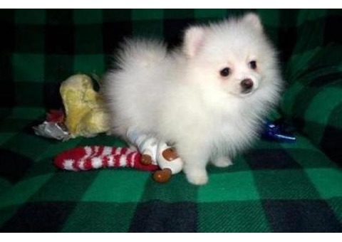 Home Raised Pomeranian Puppies