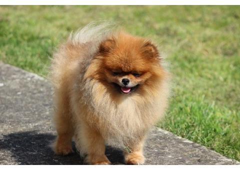 Beautiful Pomeranian puppy for adoption