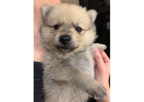 Beautiful Siberian husky puppy for adoption