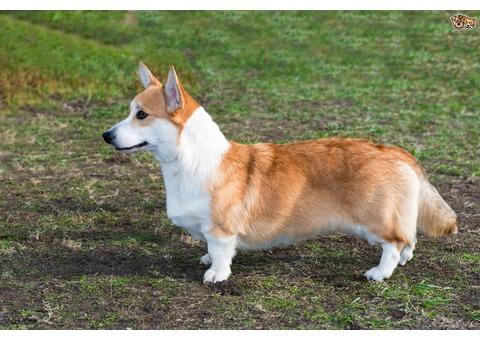 Beautiful Cardigan Welsh corgi puppy for adoption