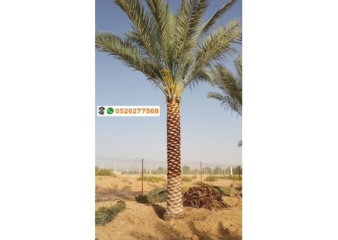 Palm Tree Sale and Home Delivery in Dubai 0526277568