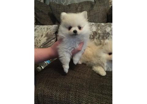 Tiny Snowwhite Pomeranian Puppies