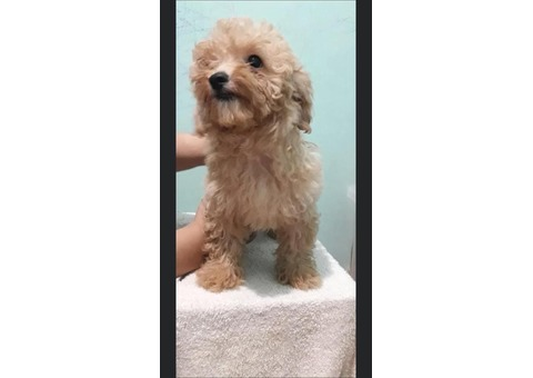 Lovely toy poodle puppy for sale