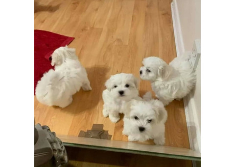 Maltese puppies for adoption now
