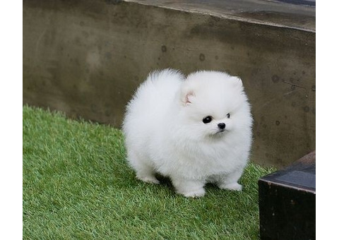 Pomeranian puppies for rehoming