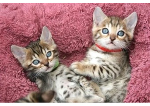 Bengal Kittens ready for their forever homes.