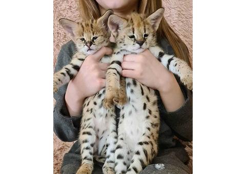 Serval Kittens ready for their forever homes.