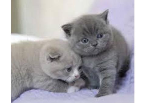 British short hair Kittens ready for their forever homes.