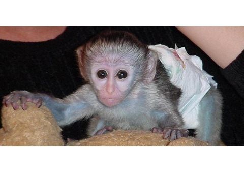 capuchin monkeys ready for their forever homes.