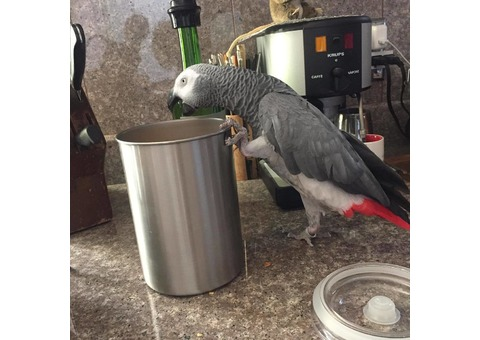 African Grey Parrots looking for a new home